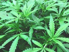 marijuana legalization driving impaired